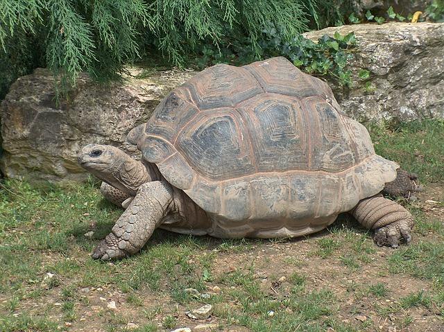 giant-tortoise-597624_640